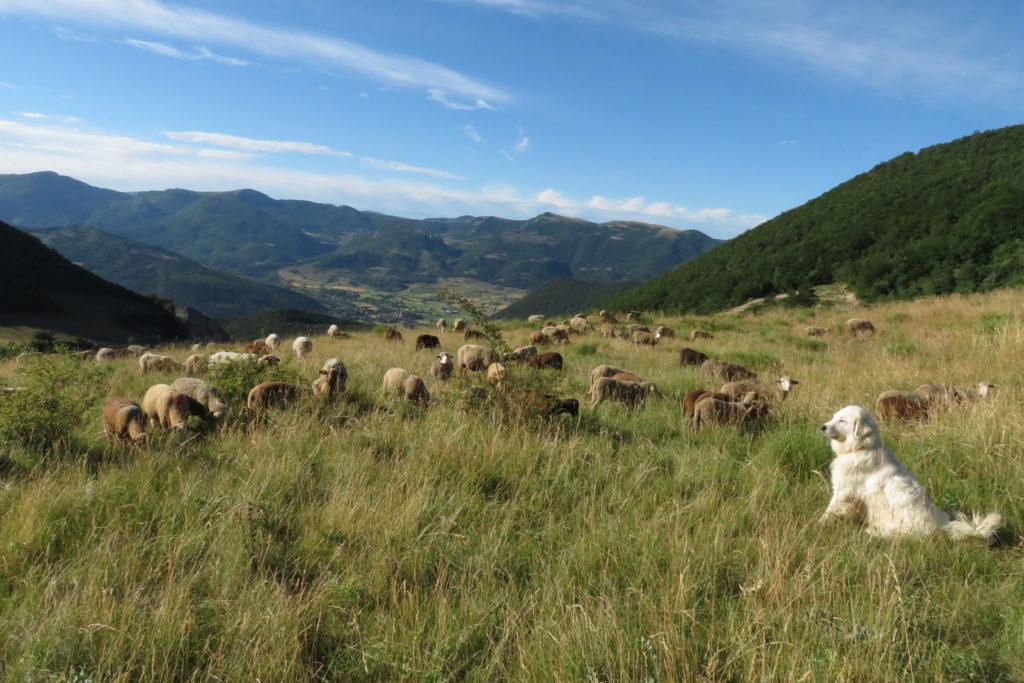 Le troupeau au Col St Jean à 1100m d'altitude